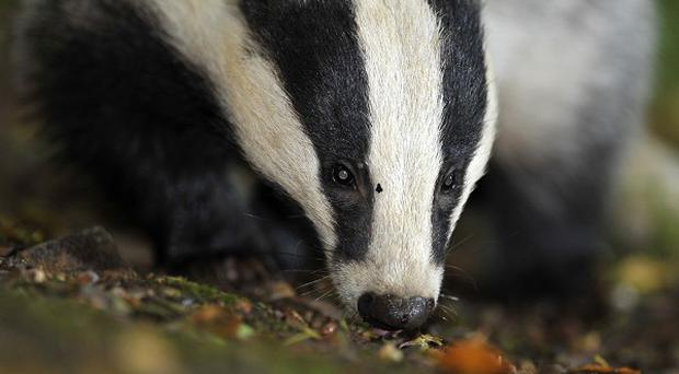 Groups of men involved in badger baiting across Northern Ireland are using social media to boast about the number of animals killed in the sickening activity, the USPCA has said