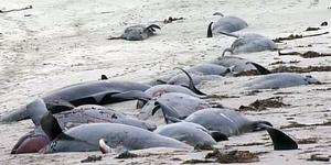 Burtonport beach in Donegal with up to 35 pilot whales washed up