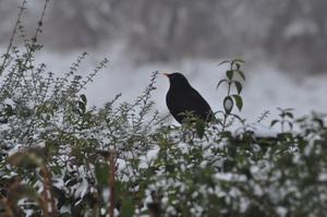 The black bird has a rest. Submitted by Chrissie Carson, Dundrod