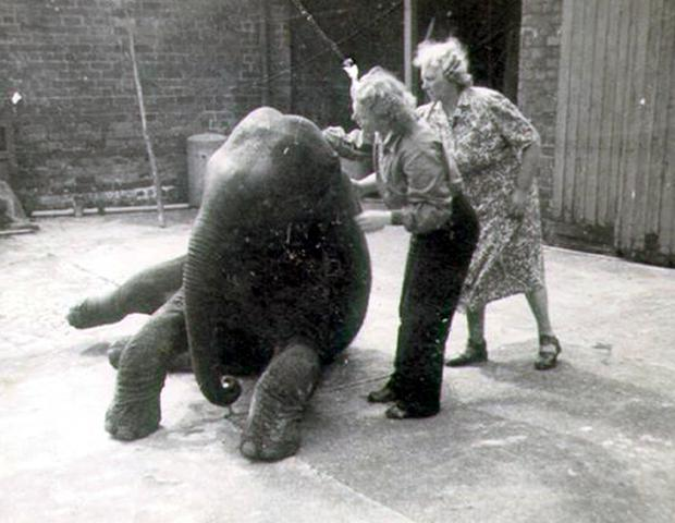 Baby elephant, Sheila, who was moved out of Belfast zoo because of fears of a hit from bombers during the Belfast Blitz of 1941