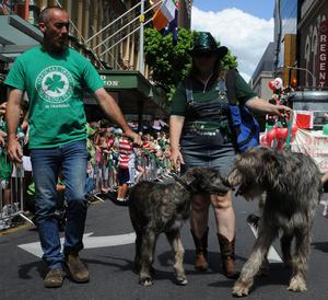 Irish Wolfhound dogs with their owners march during the Brisbane, Australia St. Patrick's Day Parade in the Brisbane CBD
