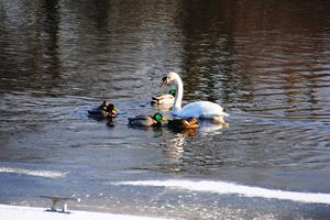 Swans and ducks in Enniskillen, Submitted by John Shaw, Lisburn