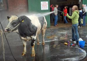 A belgian Blue Bull gets a welcome shower after a hard day at the Balmoral show