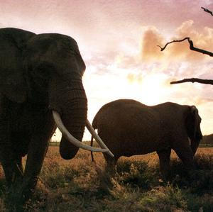 Elephant ivory is in demand, especially in China