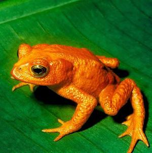 An international search has been launched to rediscover the 'lost' golden toad