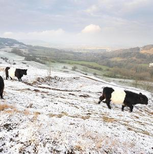 Cows graze on Birdlip Hill, Gloucestershire, which got a light sprinkling of snow