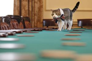 LONDON - APRIL 28:  Larry, the Downing Street cat, gets in the Royal Wedding spirit in a Union flag bow-tie in the Cabinet Room at number 10 Downing Street on April 28, 2011 in London, England. Prince William will marry his fiancee Catherine Middleton at Westminster Abbey tomorrow. (Photo by James Glossop - WPA Pool/Getty Images)