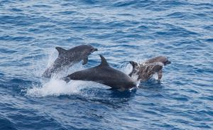 The porpoises' habitat has been designated a Special Area of Conservation
