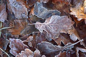 Frosted leaves in Tower Lake Wood, Clandeboye. By John McDonald, Newtownards