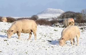 A flock of sheep grazing in the snow on the hills outside Doagh, County Antrim