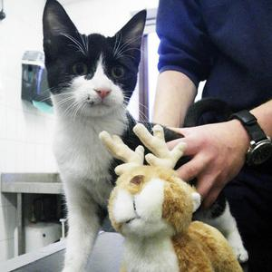 Four-month-old kitten Rudolf is now being cared for by the RSPCA