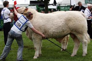 Clodagh McGovern has her Bull Ratorty Dollar in the perfect stance at the Balmoral Show