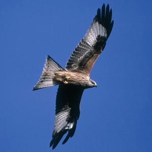 Harsh weather conditions have dealt a blow to the breeding of red kite chicks