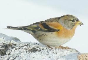 Some garden visitors to watch out for: Bramblings