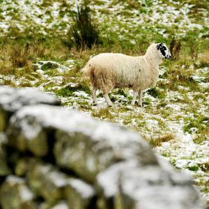 A sheep in the snow on Carlton Bank in the Cleveland Hills, North Yorkshire, after snow fell across parts of the country