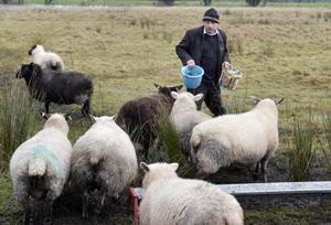 Farmer Benny Dunlop tends his lambing sheep close to the water level
