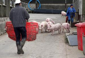 Hall's Pig Farm on the Old Carrick Road in Newtownabbey
