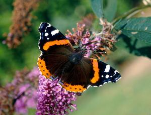 Red Admiral butterflies appear to be choosing to winter here