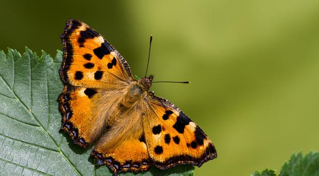 Rare beauty: the large tortoiseshell butterfly