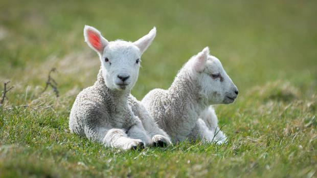 Tainted meat: police are investigating after lambs, recently treated by a vet, were stolen from a farm near Dungannon