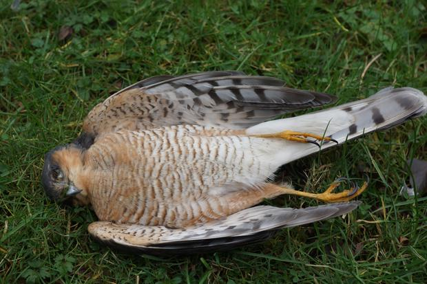 Wildlife victim: A sparrowhawk