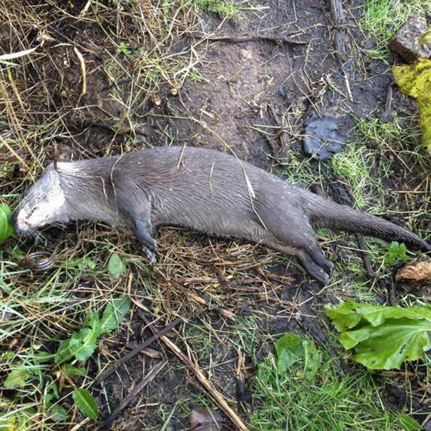 The otter that was found killed in a trap on the banks of the Sixmilewater River at Dunadry