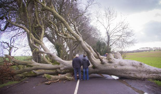 One of the famed Dark Hedges beech trees lies across the road after being uprooted