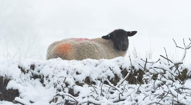PACEMAKER BELFAST 16/02/2016 Sheep in the Snow on the outskirts of Dromara, Co Down with Snow falling on parts of Down and Antrim. Photo Colm Lenaghan/Pacemaker Press