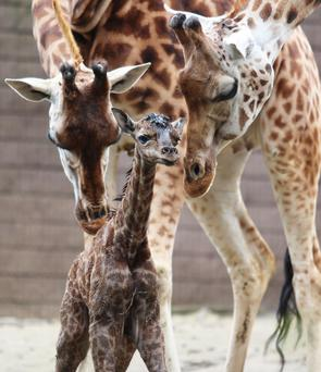 Visitors got a surprise at Belfast Zoo when they witnessed the birth of an endangered Rothschild's giraffe calf to mum Neja and dad Finn