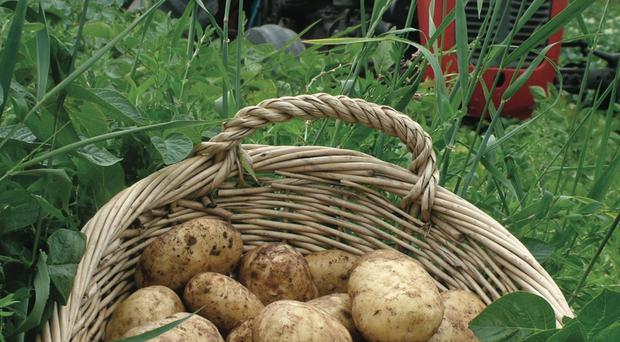 New potato favourites Comber Earlies will be on sale from this Saturday