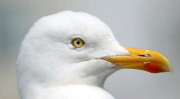Gulls are not to blame for stealing food and being aggressive - it is the fault of humans, according to scientists