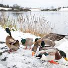 Ducks in the snow at Ballysaggart Lough, Dungannon