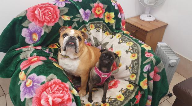 Gladys the pug with owner Aimee's other dog, Beatrice the bulldog