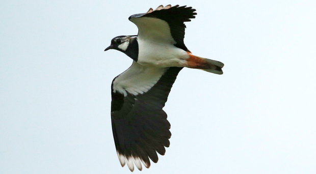 No-man's-land within Maghaberry prison has become a sanctuary for lapwings