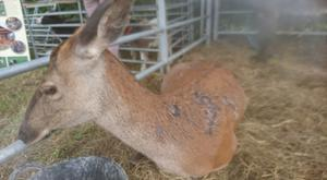 Yanna the deer after patches of her fur were removed by some sort of chemical and (right)