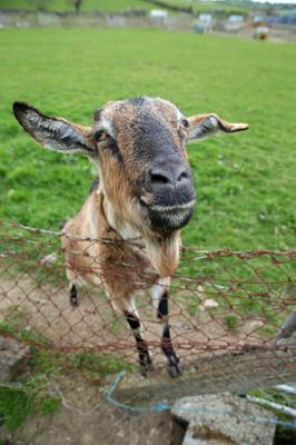 Susie the goat - one of Kenny Gracey's  animals