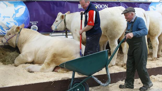 David Connolly and his father Albert with their Brigadoon Charolais cattle