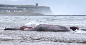 The scene on Portstewart Strand after the whale beached
