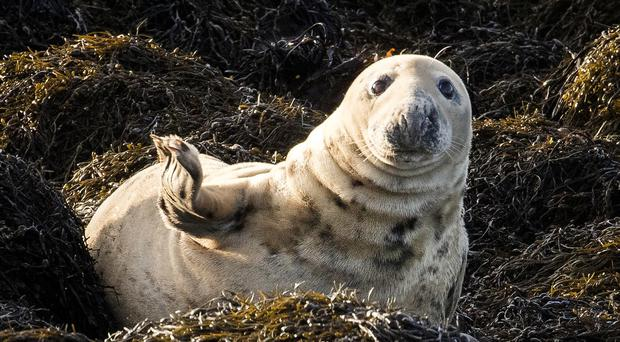 A grey seals basks in the sun on Green Island Rock off White Rock in Strangford Lough (Liam McBurney/PA)