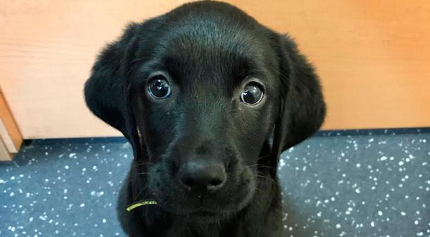 Cute Labrador cross Skye was handed into the Dogs Trust as her owners were unable to look after her