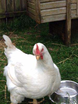 The broiler chickens at Crosskennan Lane Animal Sanctuary