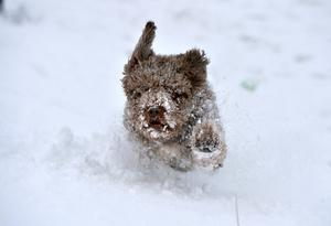 Hector, a Spanish Water Dog, plays in the snow