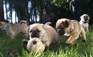 Some of the six puppies at Assisi Animal Sanctuary looking for a permanent home