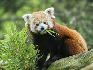 Zoo fans can get regular updates on its red pandas