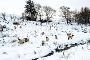 Snow scene: Sheep graze beside the Windy Hill Road outside Limavady yesterday