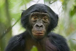 A curious five-year-old bonobo in the Kokolopori Bonobo Reserve in the Democratic Republic of Congo