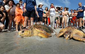 Two loggerheads are released back into the wild in Florida
