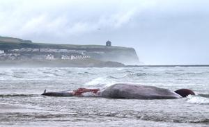 A 43ft whale died after becoming beached on Portstewart Strand yesterday