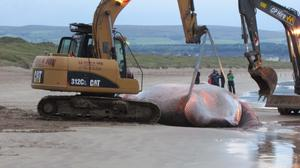 Workers attempt to remove the whale from the beach before it is finally placed on the back of a lorry and taken away