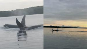 Killer whales are rare on Strangford Lough (Dara and Michael Rogers/PA)